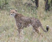 站立在高草的一头成人猎豹特写镜头sideview  库存图片