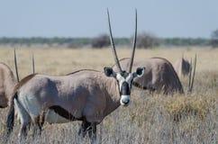 站立在高草,埃托沙国家公园,纳米比亚,非洲的美丽的羚羊属或大羚羊羚羊特写镜头画象  库存照片