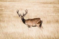 站立在高黄色草的精采鹿在里士满停放 免版税库存照片
