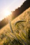 站立在麦田外面的少量麦子耳朵 免版税库存图片