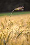 站立在麦田外面的麦子耳朵 图库摄影
