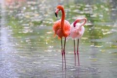 站立在水中的两群桃红色火鸟 免版税库存图片