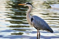 站立在水中的伟大蓝色的苍鹭的巢在日落 免版税库存图片