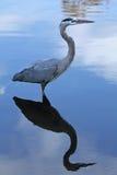 站立在水中的伟大蓝色的苍鹭的巢,与反射,在佛罗里达 免版税图库摄影