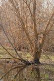 站立在水中的树 免版税图库摄影