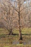 站立在水中的树 免版税库存图片