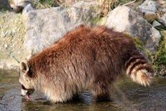 站立在水中的浣熊/浣熊属lotor 图库摄影
