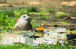 站立在水中的海鸥 免版税库存照片