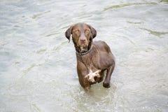 站立在水中的猎犬 免版税库存照片