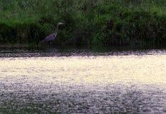 站立在水中的蓝色苍鹭 免版税库存照片