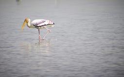 站立在水中的被绘的鹳鸟 库存图片