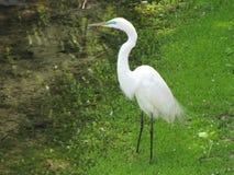 站立在水中的鸟 免版税库存照片