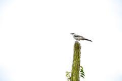 站立在仙人掌的鸟 库存照片