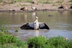 站立在水拍动的埃及鹅飞过烘干 免版税库存图片