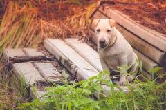 站立在水泥台阶的白色小或小犬座在室外庭院 免版税库存图片