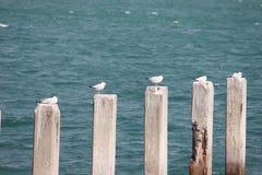 站立在水泥块的海鸥在海 免版税库存图片