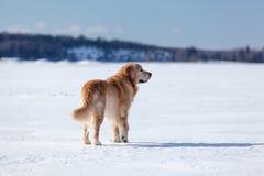 站立在冰原的金毛猎犬 免版税库存照片