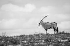 站立在黑白的一个土坎的大羚羊 免版税库存图片