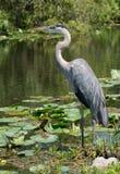 站立在水的伟大蓝色的苍鹭的巢(Ardea herodias)渐近 图库摄影
