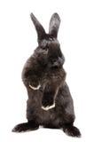 站立在他的后腿的一只滑稽的黑兔子的画象 免版税库存照片