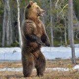 站立在他的后腿的棕熊(熊属类arctos) 免版税库存照片