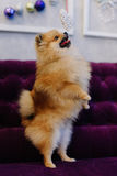 站立在他的后面爪子的德国波美丝毛狗的旁边画象和要捉住白色手工制造心脏 免版税库存照片