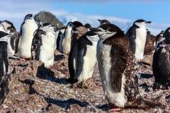 站立在他的殖民地成员中的幼小chinstrap企鹅会集 免版税库存照片