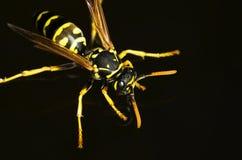站立在水的黄蜂 图库摄影