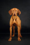 站立在黑背景的Vizsla狗 免版税图库摄影
