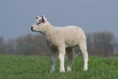 站立在绿色堤堰凝视的白色羊羔 免版税图库摄影