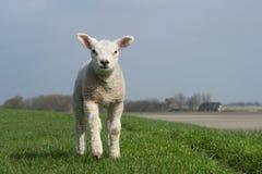 站立在绿色堤堰的白色羊羔 库存图片