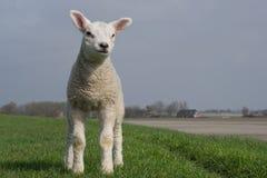 站立在绿色堤堰的白色羊羔 免版税库存图片
