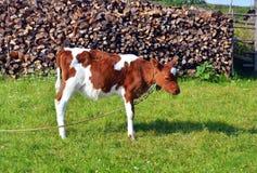 站立在绿色牧场地的小的小牛 库存图片