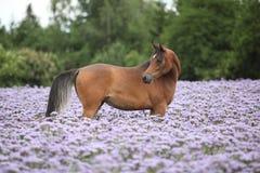 站立在紫色花的阿拉伯马 免版税库存图片
