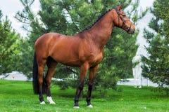 站立在绿色草甸的金黄红色或棕色马 库存图片