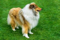 站立在绿色领域的长发粗砺的大牧羊犬 库存照片