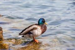 站立在水附近的公野鸭 库存图片