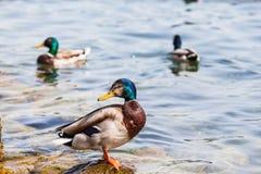 站立在水附近的公野鸭 免版税库存照片