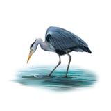 站立在水, Ardea中的灰色苍鹭灰质 库存图片