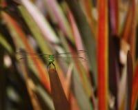 站立在Bromeliad的绿色蜻蜓 免版税库存图片