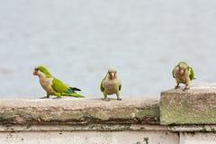 站立在concret栏杆的三只绿色鹦鹉 库存图片