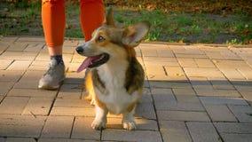 站立在corgy狗附近的人的腿特写镜头画象镇静地观看和直接地入照相机在绿色公园 股票录像