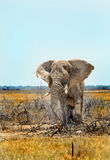站立在Etosha平原的被隔绝的大象 库存照片