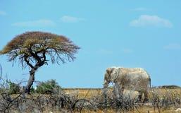 站立在Etosha平原的被隔绝的大象 免版税库存照片