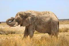 站立在Etosha平原的被隔绝的大象 图库摄影