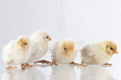 站立在glass.GN的新的舱口盖鸡 免版税库存图片