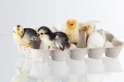 站立在group.GN的新的舱口盖鸡 免版税库存图片
