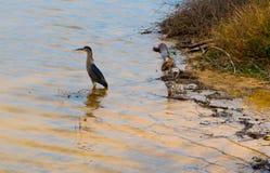 站立在Kealia池塘的共同的吉了鸟 库存图片