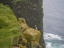 站立在Latrabjarg鸟峭壁岩石的呼喊的大西洋海鹦Fratercula arctica, 库存图片