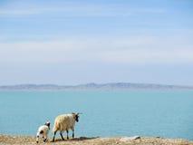站立在Mountain湖附近的绵羊在青海,中国 免版税图库摄影